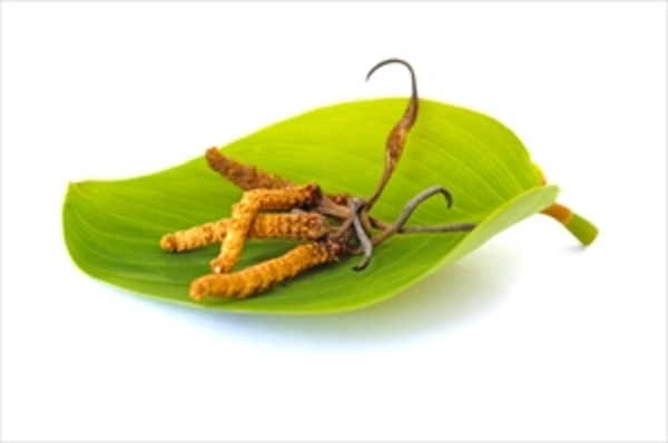 冬虫夏草とは? 2000年以上の歴史を持つ奇跡のキノコ